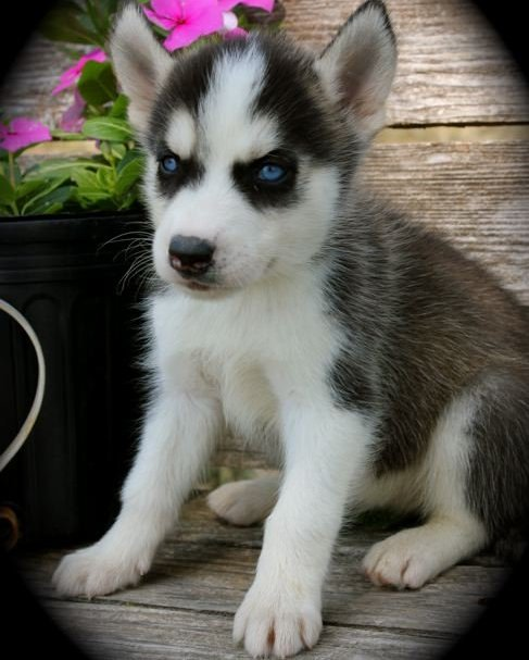 Blue Eyes AKC Purebred Siberian husky Puppies