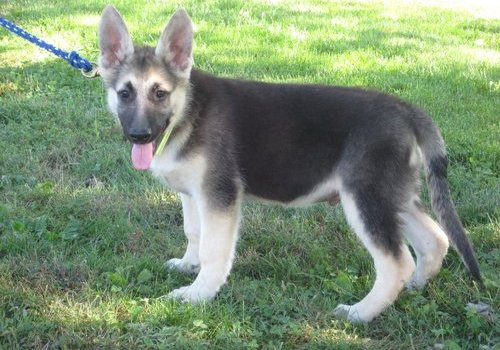 Beautiful AKC Registered Pure bred German Shepherd Puppies