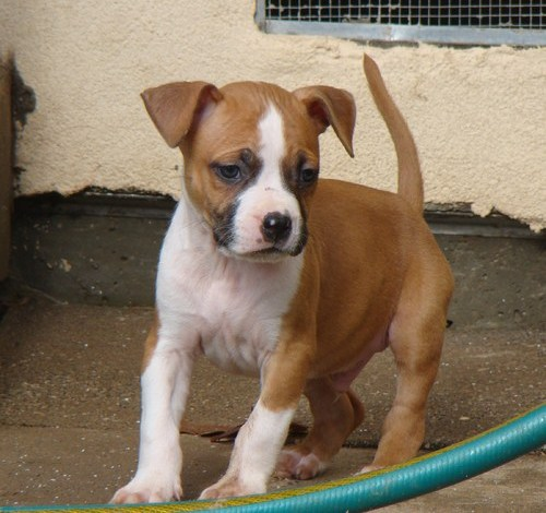 Pure bred Charming Male And Female American Pit Bull Puppies For Adoption