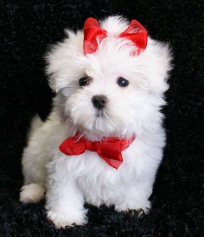 A KC Adorable Teacup Maltese Puppies Very Tiny!!!