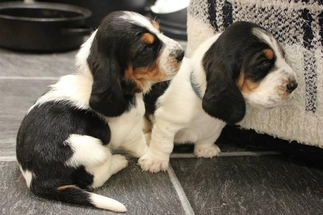 Tri Colour Basset Hound Puppies Available