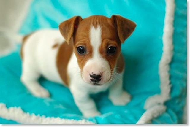 Lovely Jack Russell Terrier Puppies available for a new home.