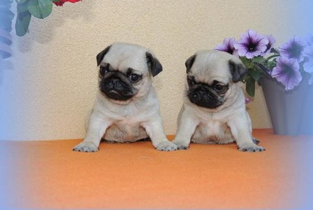 Excellent pug puppies available.