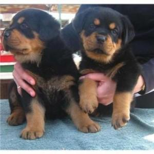 Male / Female Rottweiler Puppies For Adoption