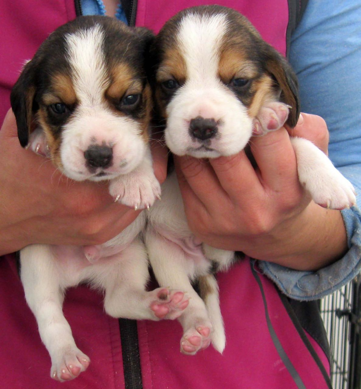 Beautiful Beagle Puppies Registered