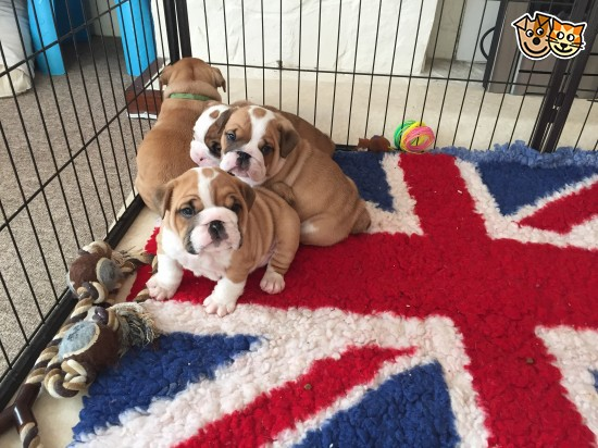 Bulldog Puppies Ready for sale