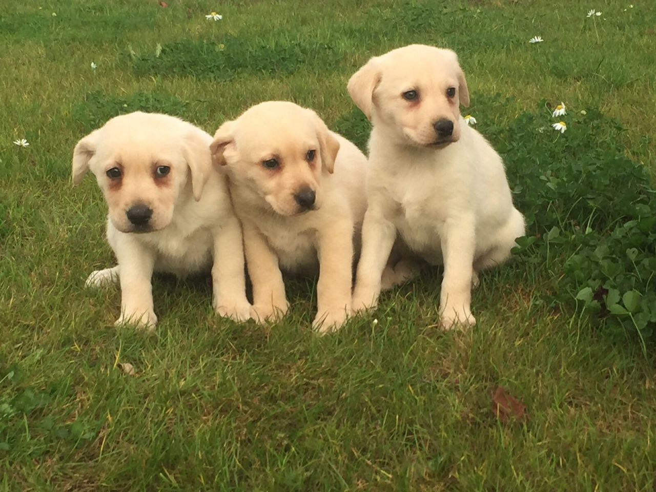 Beautifull  Labrador Puppies for sale