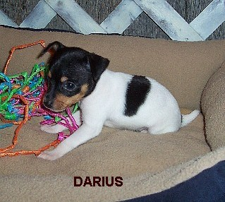 Toy Fox Terrier puppies