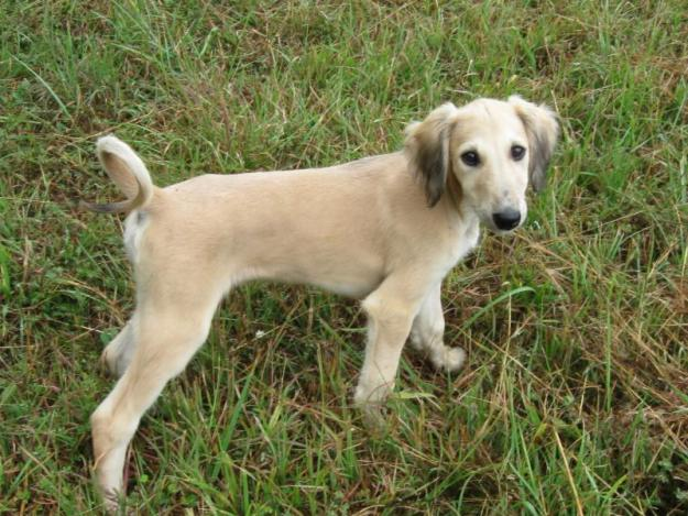 Saluki puppies