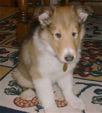 Smooth collie puppies