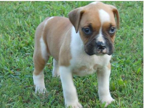 AKC Reg Male and Female Boxer Pups