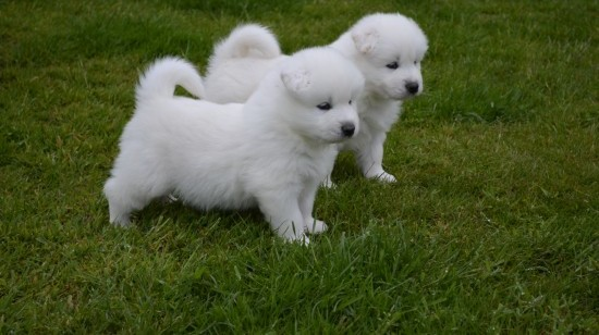 2 Adorable Samoyed puppies for good home