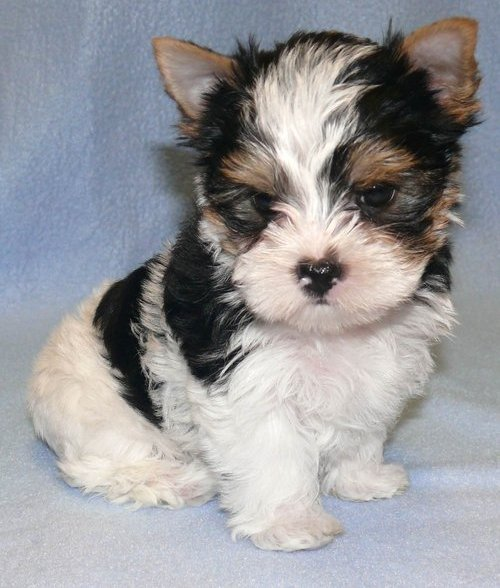 Male and Female Teacup Shih Tzu puppies for adoption