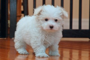Healthy Male And Female teacup maltese puppies for adoption .