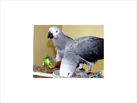 Intelligent, healthy Males and Females African grey parrots for Adoption