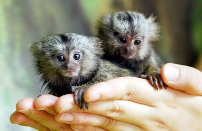Top Quality Pygmy Marmoset - The Smallest Monkeys Available