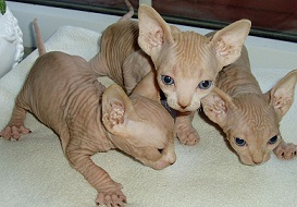 Adorable sphynx kittens for adoption