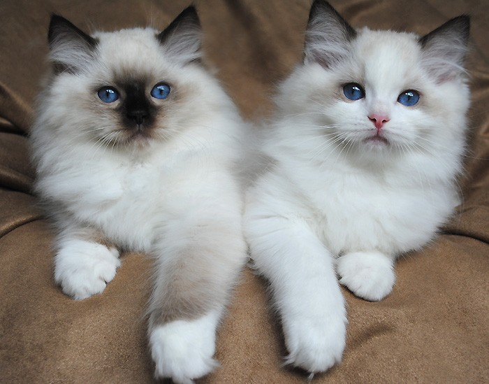 Purebred Lilac Lynx Point Ragdoll Kitten for adoption