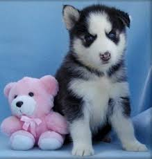 X-MAS Siberian Husky Puppies Available