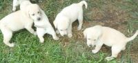 X-MAS Male and Female Labrador Retriever pupies cantact now