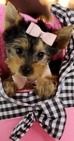 X-MAS Each Yorkshire Terrier Puppies