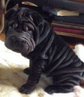 X-MAS male and female Shar-Pei Puppies
