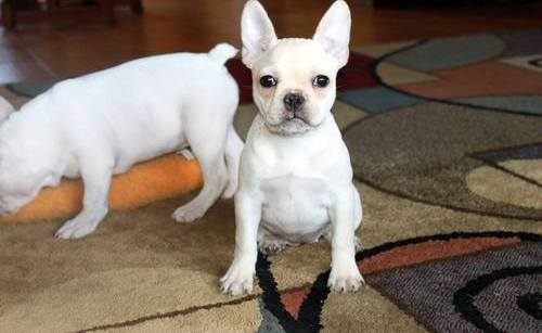 X-MAS male and female French Bulldog Puppies