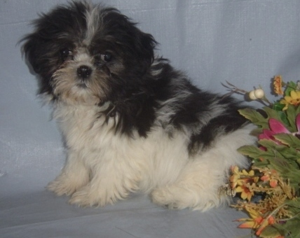 X-MAS male and female shih tzu Puppies