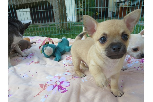 X-MAS male and female Chihuahua  Puppies
