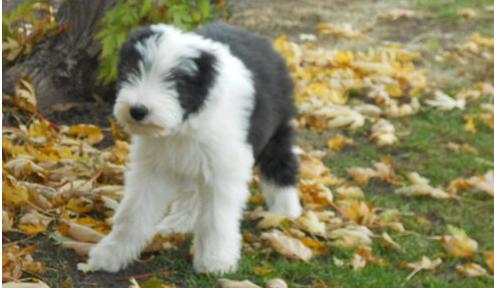 X-MAS male and female Bearded Collie  Puppies
