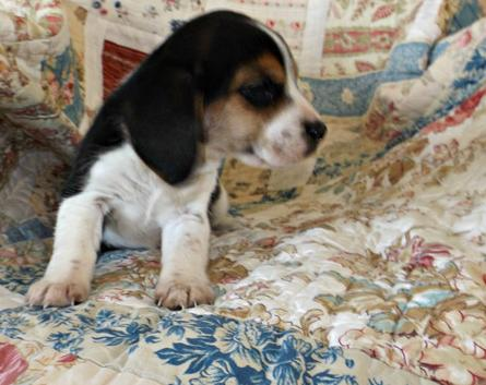 X-MAS male and female Beagle  Puppies