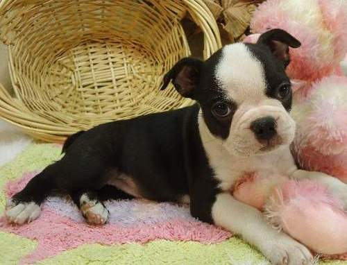 X-MAS male and female boston tiere  Puppies