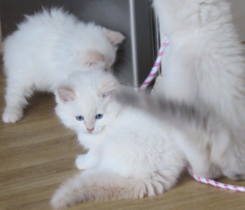 Beautiful Ragdoll kitten ready to go to her forever home.
