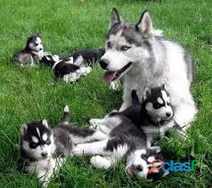 Magnificent registered Siberian Husky Puppies For X mass adoption