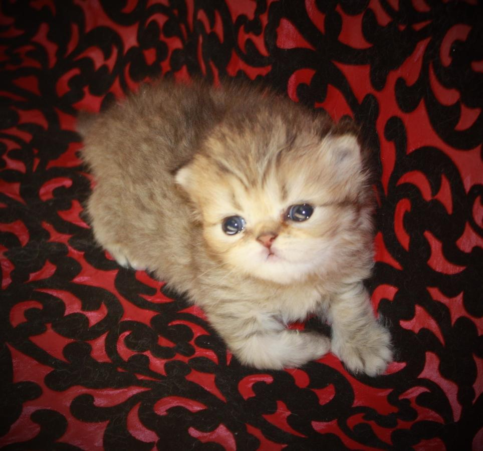 Stunning Himalayan Persian Baby Girl Kitten CFA registered