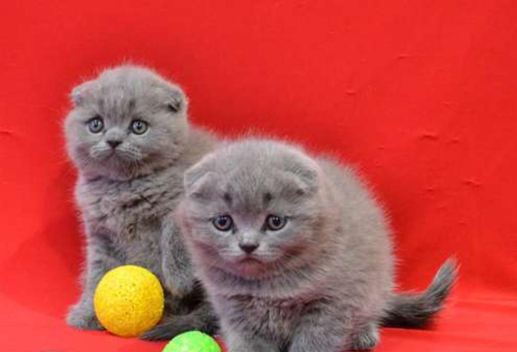 Scottish fold babies kittens