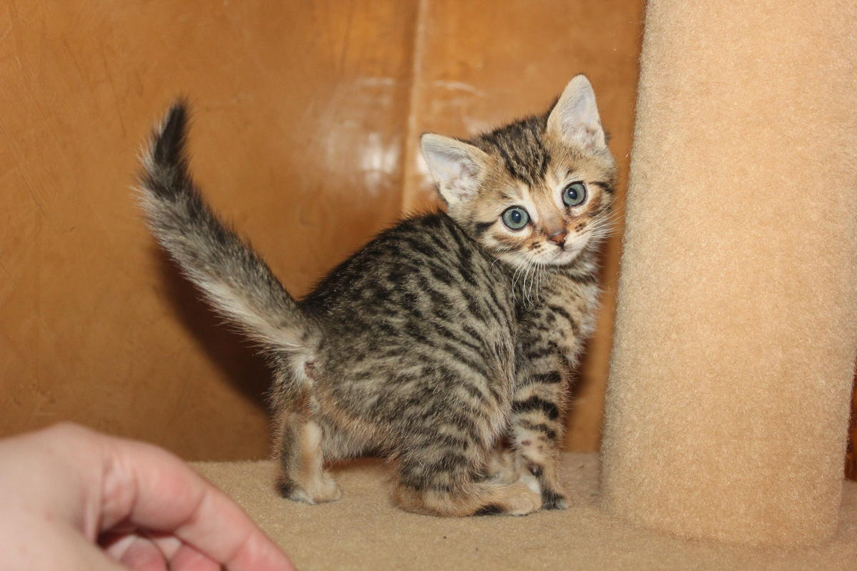 experimental brown spotted tabby female