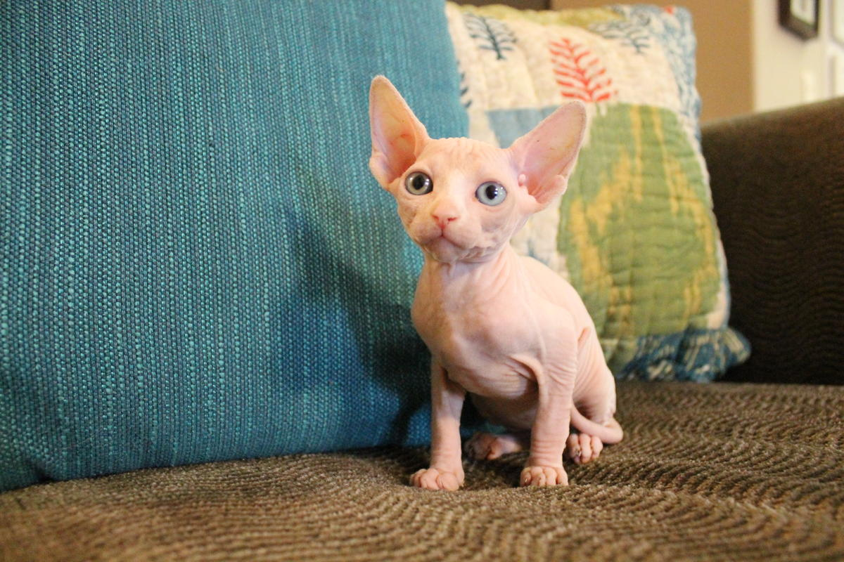 TICA registered odd-eyed female sphynx kitten