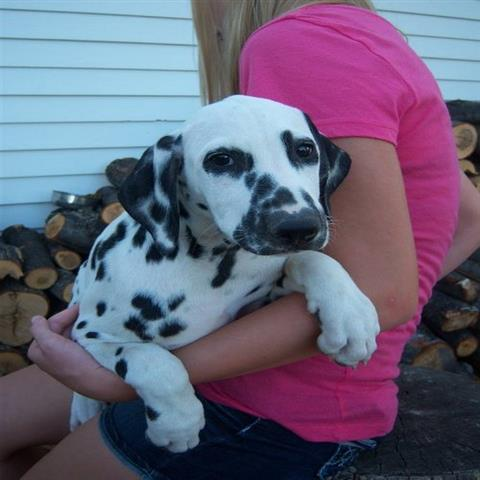 Dalmatian for adoption in eng loving home
