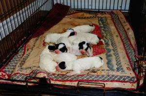 English Setter Puppies from Excellent Hunting Stock