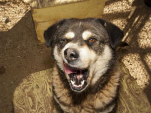 Senior Male - Alaskan Malamute-German Shepherd Dog