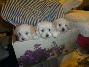 BEAUTIFUL MALTESE/POODLE PUPPIES HYPO ALLERGENIC NON SHEDDING