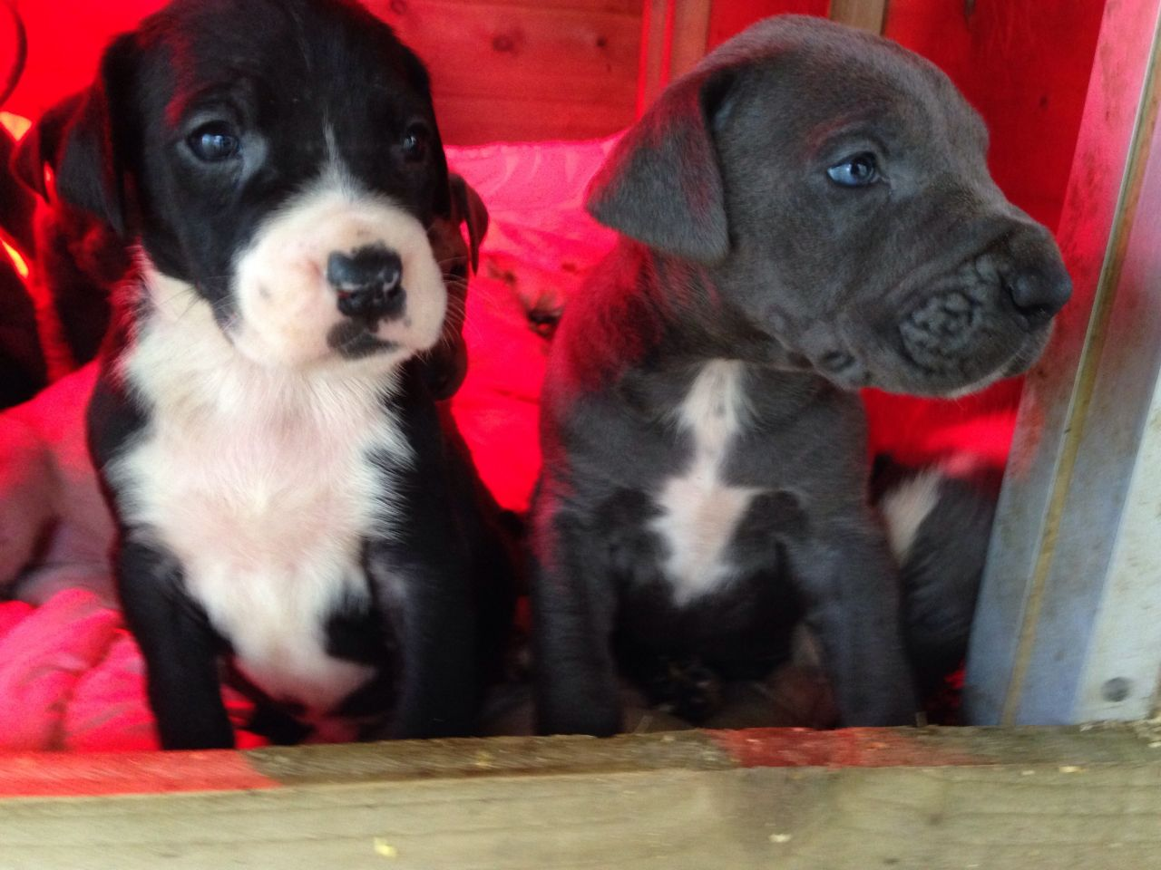 Stunning Great Dane Puppies