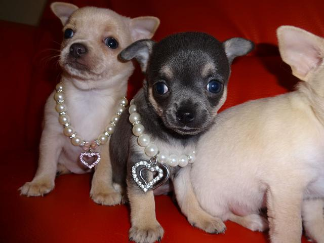 Affectionate Chihuahua Puppies For Adoption