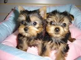 Yorkshire Terriers Puppies For Adoption