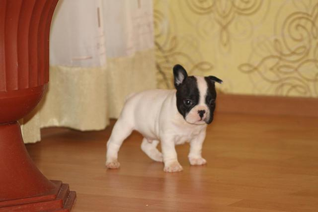 Quality Registered French Bulldog Puppies