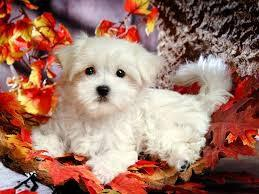 Cute Maltese Puppies for Your Home
