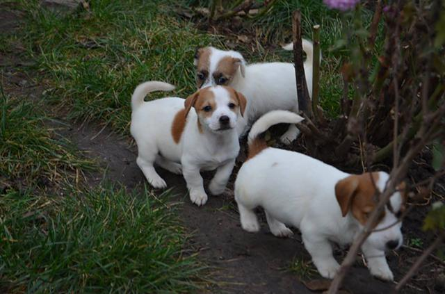 Jack Russell Terrier For Adoption Urgently