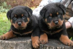 Excellent Rottweilers Puppies Ready For Adoption