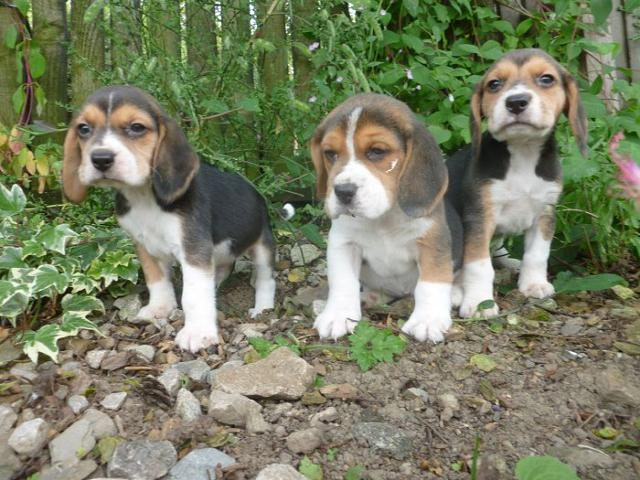 Perfection High Class Beagles Puppies Available